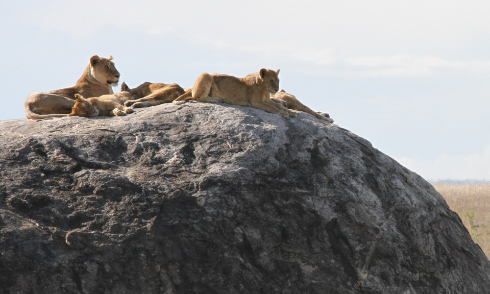 Lions relaxing on a rock outcrop in the Serengeti